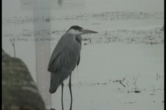 Heron important walks in shallow water and collects food Stock Footage