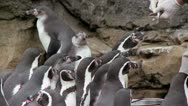 Stock Video Footage of Penguin Feeding Time