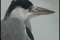 Close-up: The heron looks around cautiously yellow eye - stock footage