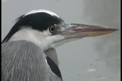Stock Video Footage of Close-up: The heron looks around cautiously yellow eye