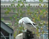 Young gull cleans feathers on a traffic light Stock Footage