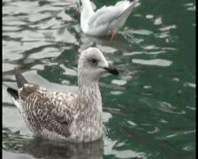 Proud seagull Stock Footage