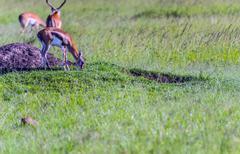 thompson's gazelle on the masai mara national reserve, kenya - stock photo