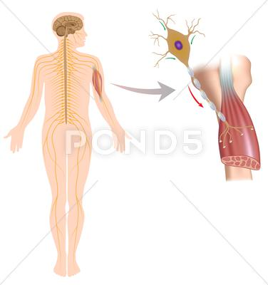 Stock Illustration of Motor neuron controls muscle movement