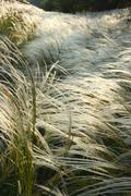 Feather grass against an evening sun - stock photo