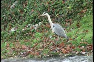 Crane stands at the shore of a river and looks around Stock Footage