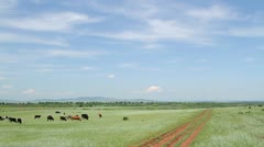 Herd of cows near dirt road - stock footage