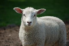 Curious lamb looking straight ahead Stock Photos