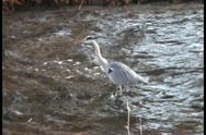 Beautiful crane slowly moves in water Stock Footage