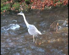 Gray crane walks slowly and steady in water Stock Footage