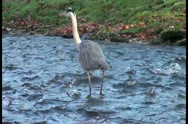 Close view of a cranen walking in water Stock Footage