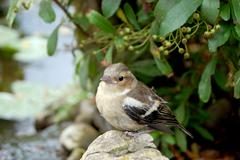 Young chaffinch standing alone on rock Stock Photos