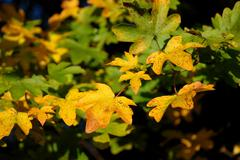 yellow and green autumnal leaves - stock photo