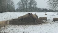 Stock Video Footage of Sheep Feeding In The Snow