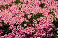 Pink bush roses in sunshine - stock photo