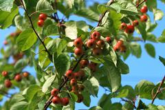 Crab apple tree branch laden with fruit - stock photo