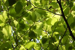 Canopy of green beech leaves - stock photo