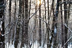 sunset in winter aspen forest - stock photo