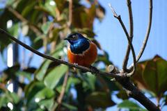 Superb starling with bright plumage - stock photo