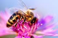 Stock Photo of honey bee on knapweed