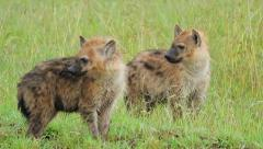 Cubs hyenas Stock Footage