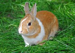 bunny rabbit - stock photo