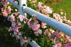 Pink roses fence Stock Photos
