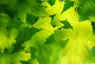 Stock Photo of green maple leaves