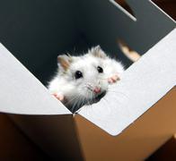 Hamster in a box Stock Photos