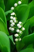 Stock Photo of lily-of-the-valley closeup