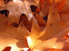 Stock Photo of closeup on sunlit oak leaves