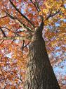 Stock Photo of old oak tree in the fall 1
