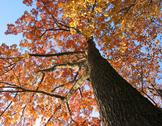 Stock Photo of old oak tree in the fall