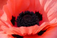 Stock Photo of poppy macro