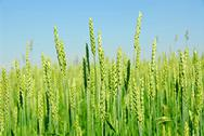 Stock Photo of green grain growing
