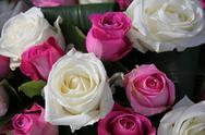Pink and white roses Stock Photos