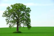 Stock Photo of single tree summer