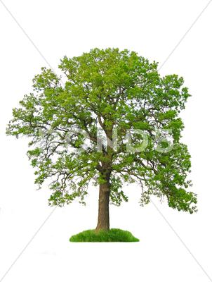 Stock photo of isolated tree