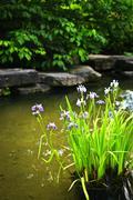 Purple irises in pond Stock Photos