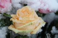 Pink rose, covered in snowflakes Stock Photos