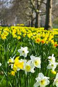daffodils in st. james's park - stock photo