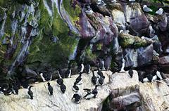 Birds at cape st. mary's ecological bird sanctuary in newfoundland Stock Photos