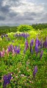 Purple and pink garden lupin flowers Stock Photos