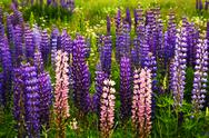 Stock Photo of purple and pink garden lupin flowers