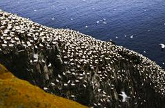 gannets at cape st. mary's ecological bird sanctuary - stock photo