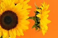 Stock Photo of sunflower closeup