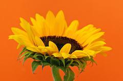 Stock Photo of sunflower closeup