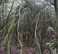 Laurel forest Stock Photos