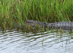 Alligator in florida Stock Photos