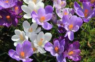 Purple and white crocuses in a field Stock Photos